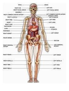 anatomi-tubuh-manusia